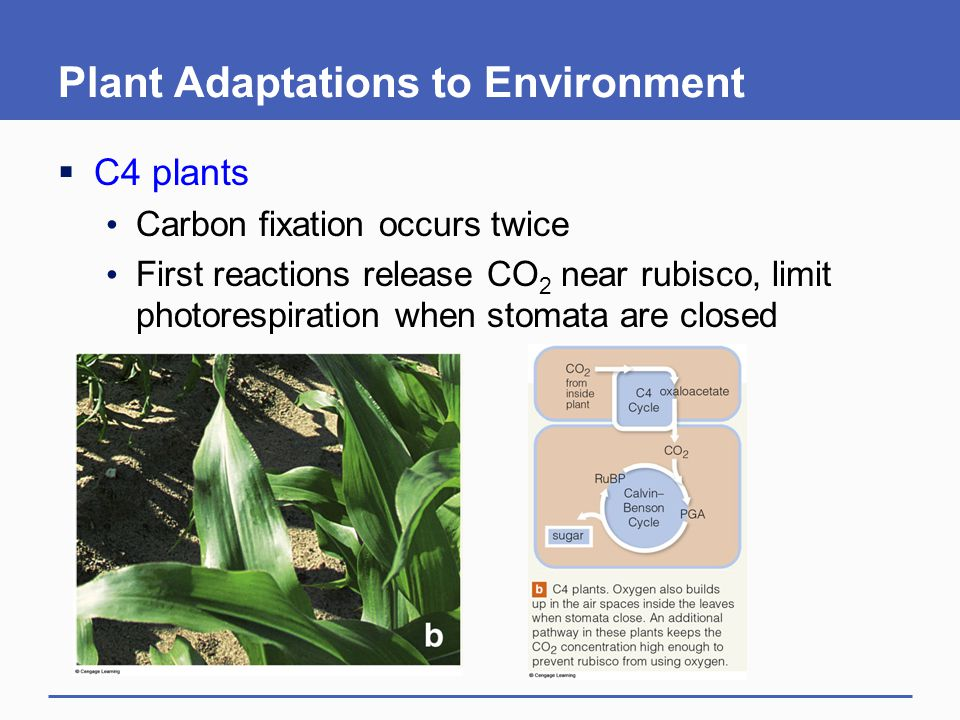 Plant Adaptations to Environment  C4 plants Carbon fixation occurs twice First reactions release CO 2 near rubisco, limit photorespiration when stoma