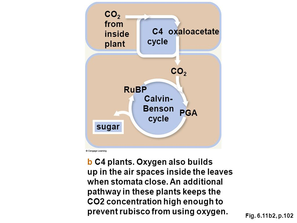 Fig. 6.11b2, p.102 CO 2 from inside plant Calvin- Benson cycle RuBP sugar PGA C4 cycle CO 2 oxaloacetate b C4 plants. Oxygen also builds up in the air