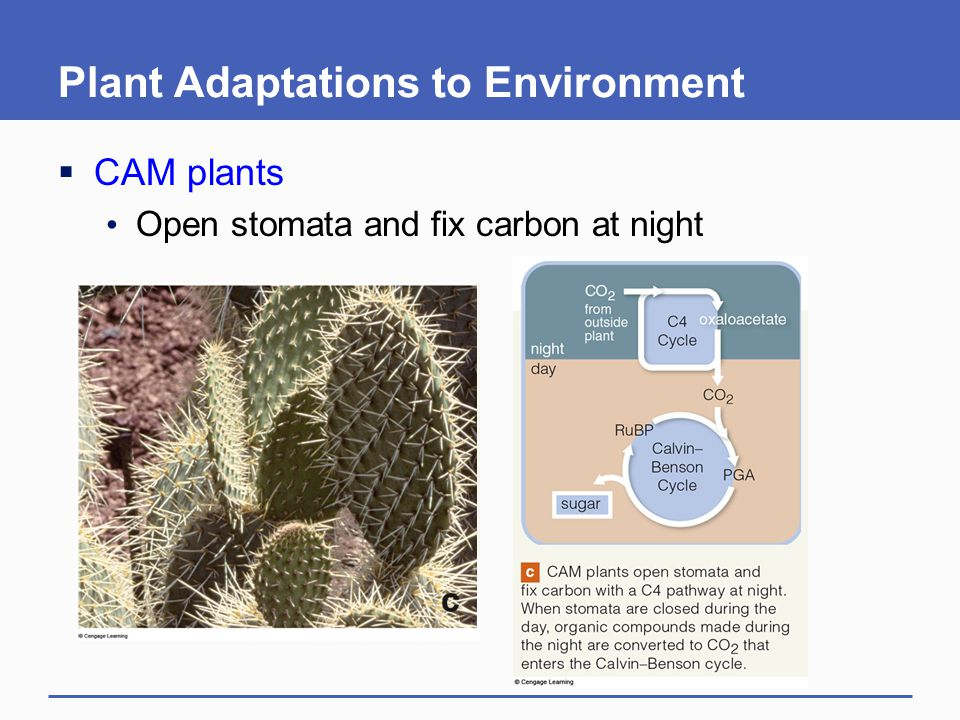 Plant Adaptations to Environment  CAM plants Open stomata and fix carbon at night