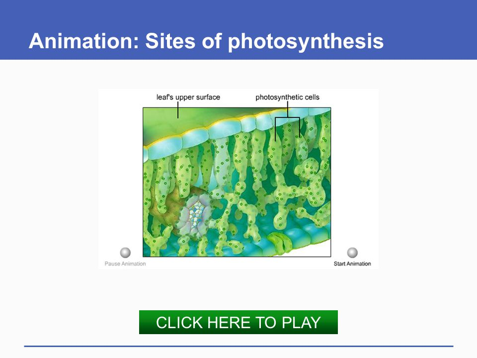 Animation: Sites of photosynthesis CLICK HERE TO PLAY