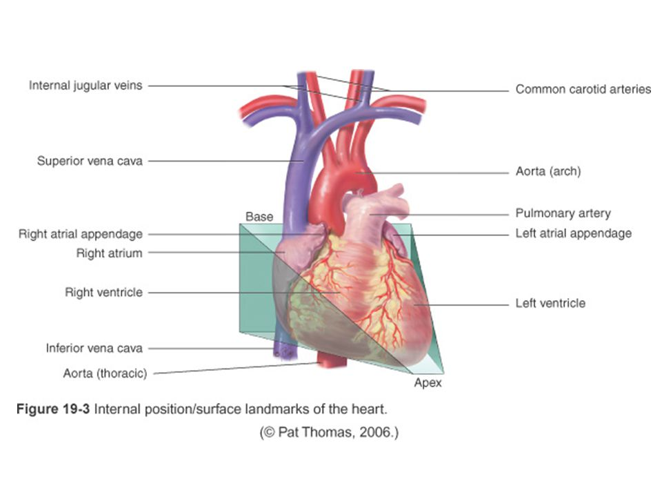 Non-modifiable hemodynamic changes (cont'd) Arrhythmias  may decrease cardiac output and BP  may experience syncope d/t decreased cerebral blood flow Cardiac Arrhythmia: http://www.learnerstv.com/animation/animatio n.php?ani=202&cat=BiologyAutomaticity http://www.learnerstv.com/animation/animatio n.php?ani=202&cat=BiologyAutomaticity ECG changes d/t changes in conduction system: prolonged P-R interval (first-degree heart block) & increased incidence of bundle branch block The Aging Adult (cont'd)