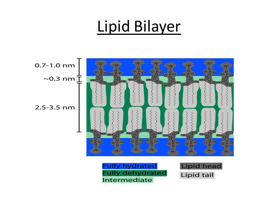 Lipid Bilayer
