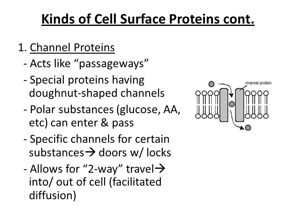 """Kinds of Cell Surface Proteins cont. 1. Channel Proteins - Acts like """"passageways"""" - Special proteins having doughnut-shaped channels - Polar substanc"""