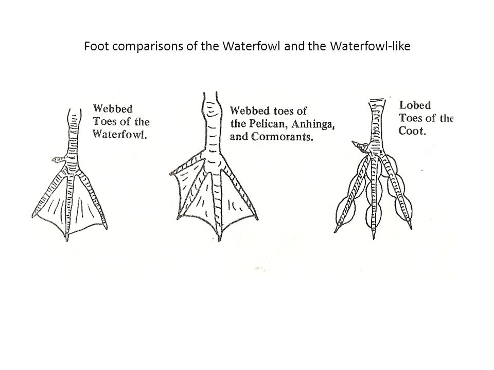 Foot comparisons of the Waterfowl and the Waterfowl-like