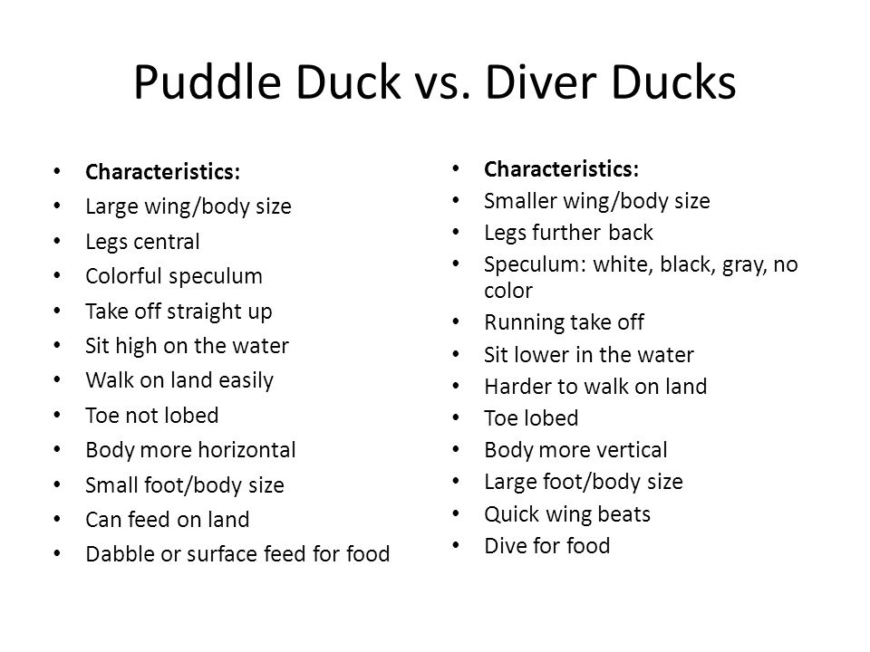 Puddle Duck vs. Diver Ducks Characteristics: Large wing/body size Legs central Colorful speculum Take off straight up Sit high on the water Walk on la