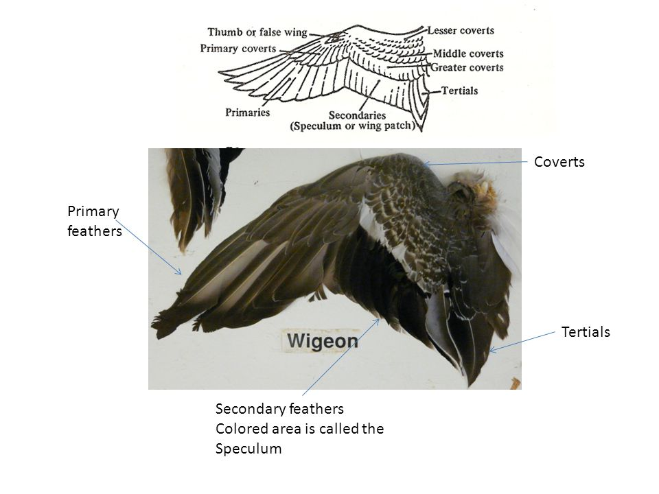 Primary feathers Secondary feathers Colored area is called the Speculum Coverts Tertials