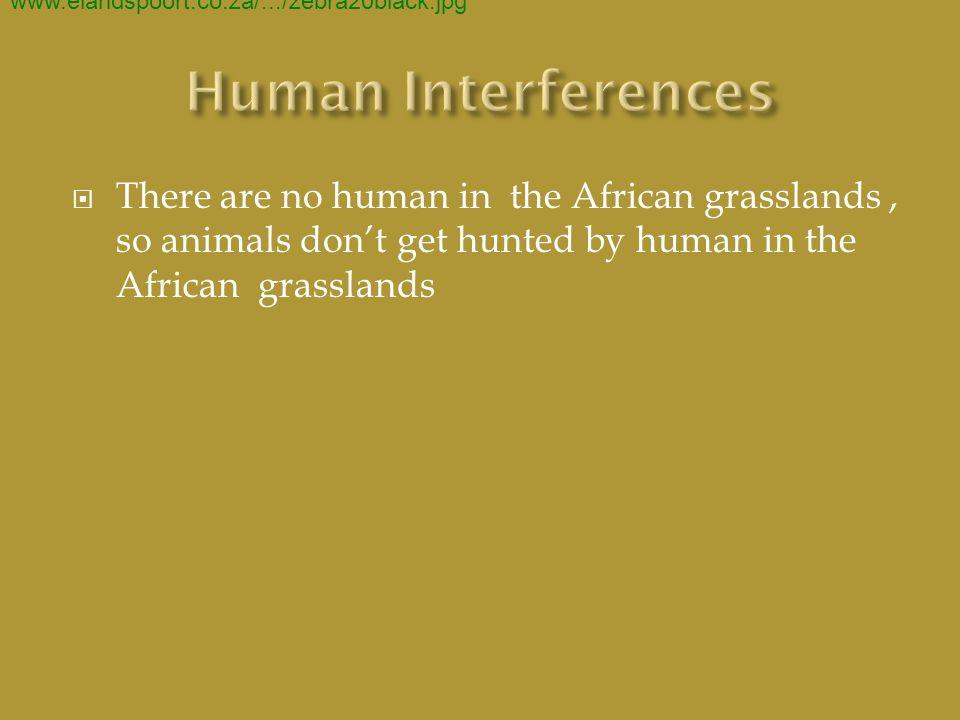  ENDANGERED SPECIES 400 × 300 - 31k - jpg - 2.bp.blogspot.com/.../s400/IMG_7969.JPG www.best-www.treehugger.com/cheetah-cat- kenya- africa.jpgprice.com/ African+Grasslands