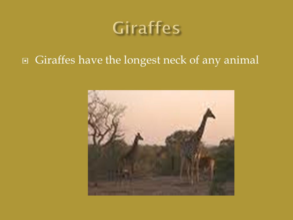  Giraffes have the longest neck of any animal