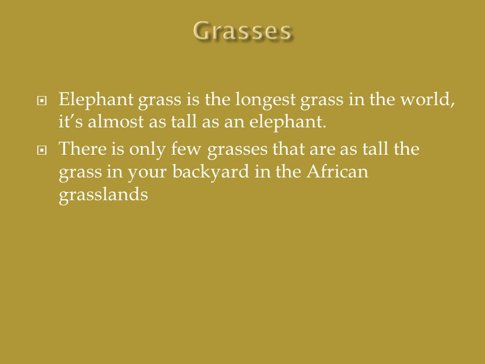  Elephant grass is the longest grass in the world, it's almost as tall as an elephant.