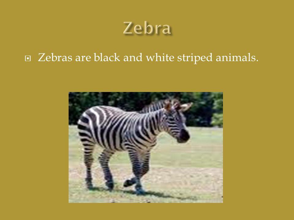  Zebras are black and white striped animals.