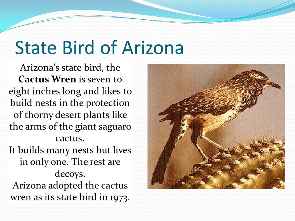 State Bird of Arizona Arizona s state bird, the Cactus Wren is seven to eight inches long and likes to build nests in the protection of thorny desert plants like the arms of the giant saguaro cactus.