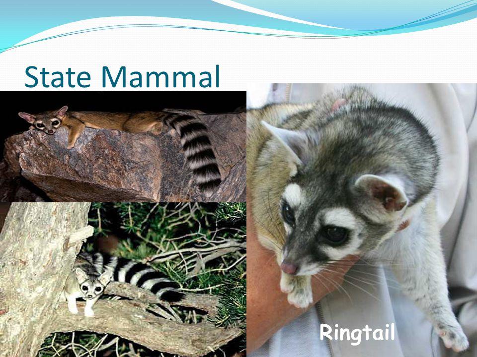 State Mammal Ringtail