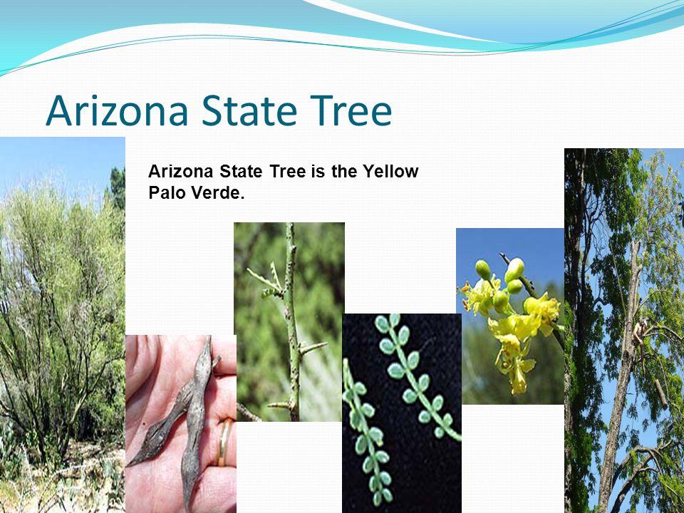 Arizona State Tree Arizona State Tree is the Yellow Palo Verde.