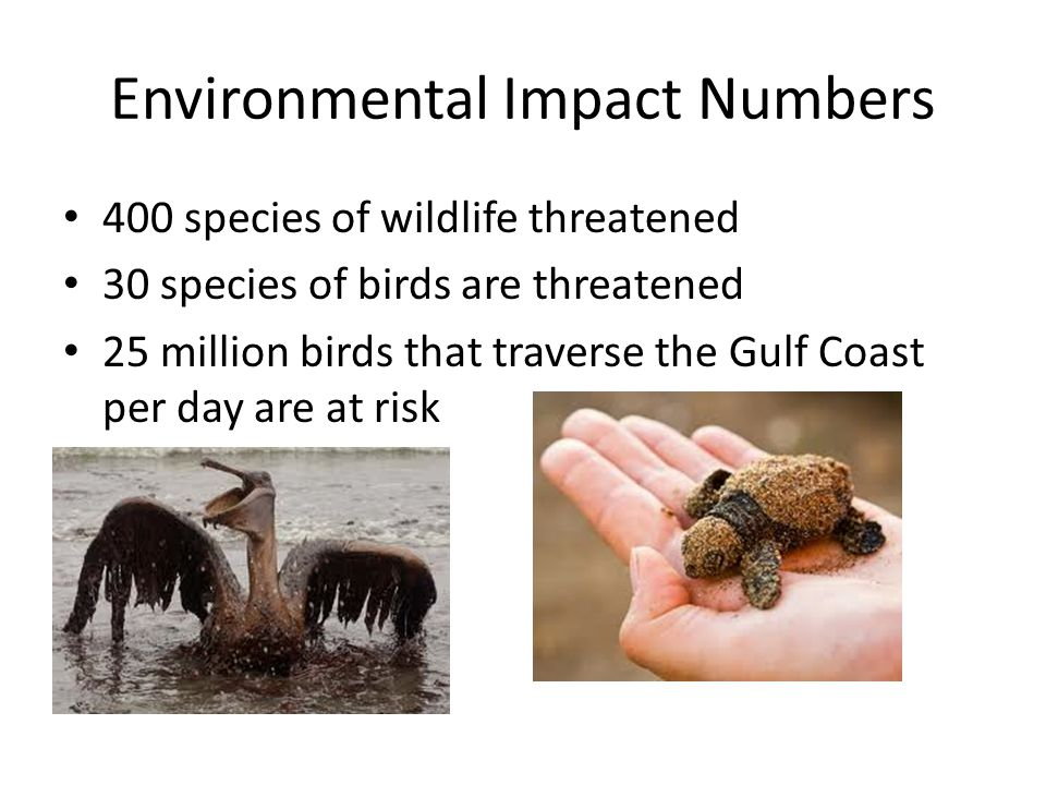 Environmental Impact Numbers 400 species of wildlife threatened 30 species of birds are threatened 25 million birds that traverse the Gulf Coast per day are at risk