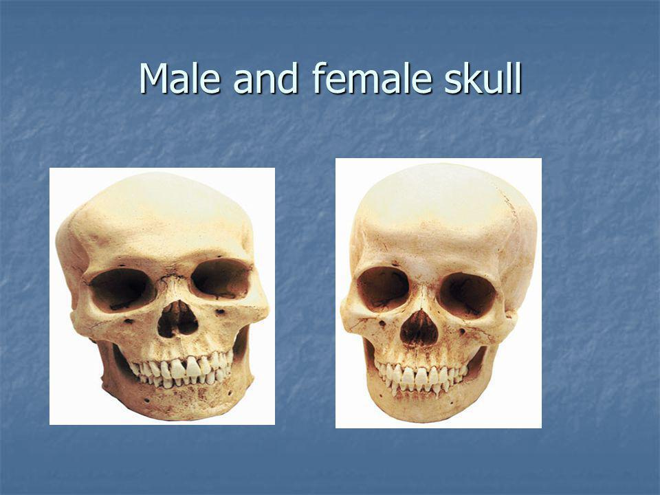 Male and female skull