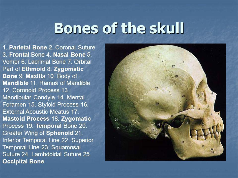 Bones of the skull 1. Parietal Bone 2. Coronal Suture 3. Frontal Bone 4. Nasal Bone 5. Vomer 6. Lacrimal Bone 7. Orbital Part of Ethmoid 8. Zygomatic