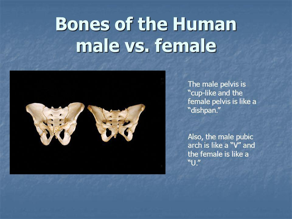 """Bones of the Human male vs. female The male pelvis is """"cup-like and the female pelvis is like a """"dishpan."""" Also, the male pubic arch is like a """"V"""" and"""