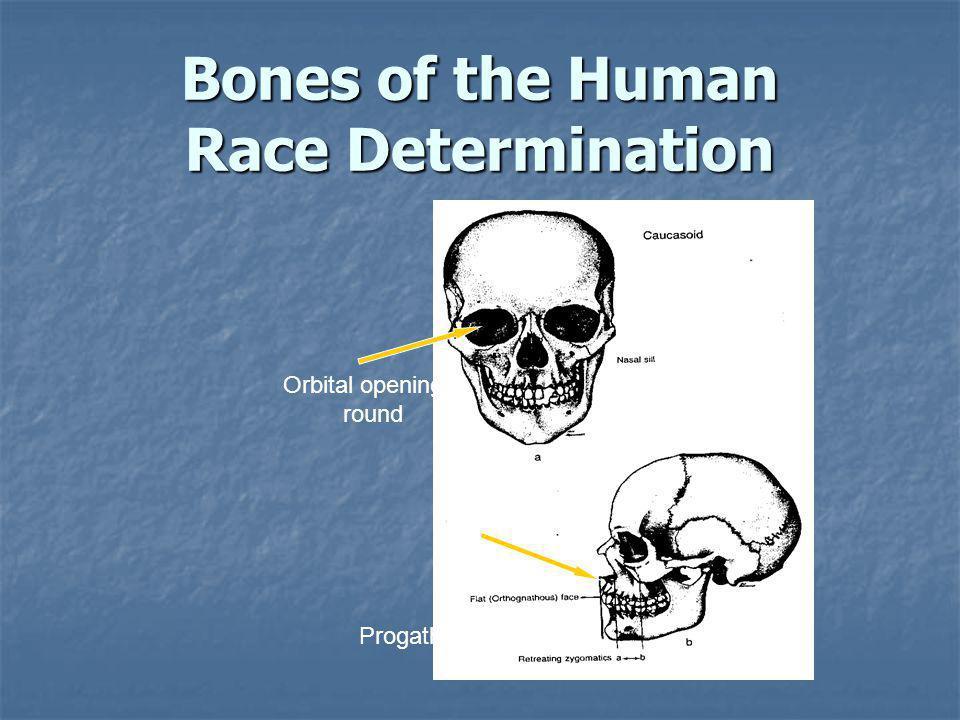 Nasal spine: Prominent Progathism: straight Orbital openings: round