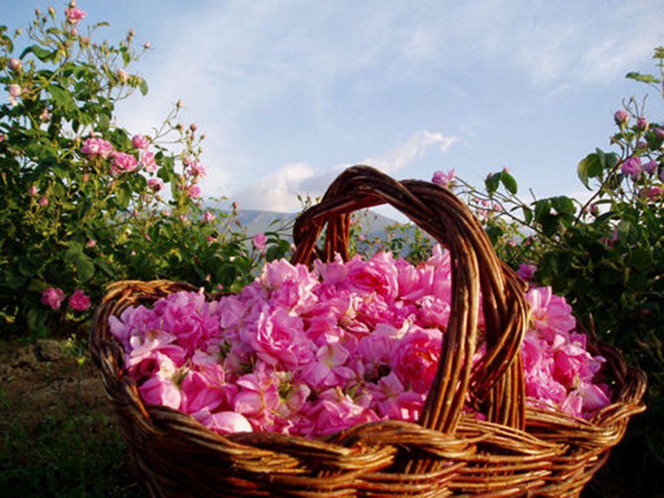 Bulgarian Kazanluk rose ( Kazanlashka roza ) Bulgaria is one of the biggest producers of rose oil in the world.