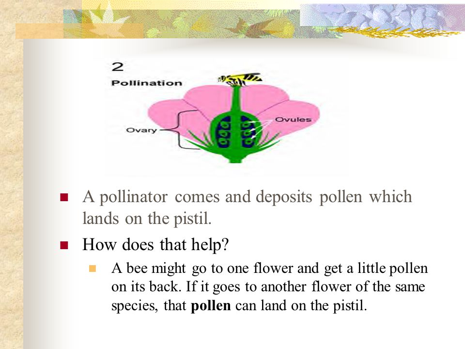 A pollinator comes and deposits pollen which lands on the pistil. How does that help? A bee might go to one flower and get a little pollen on its back