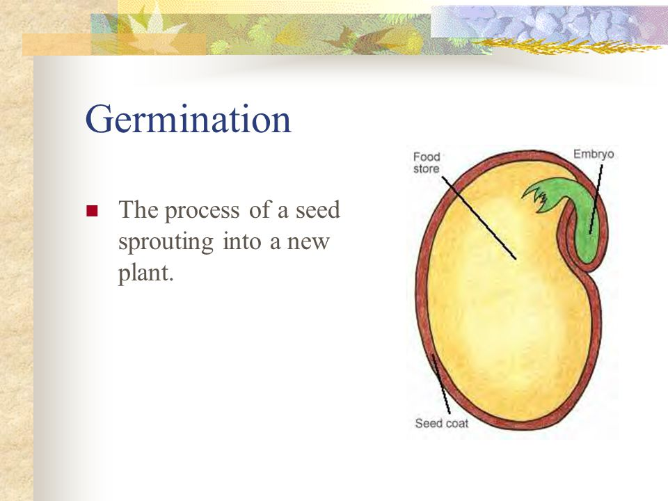 Germination The process of a seed sprouting into a new plant.