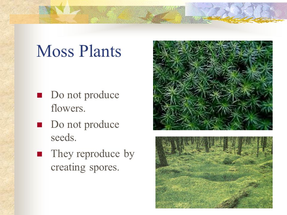 Moss Plants Do not produce flowers. Do not produce seeds. They reproduce by creating spores.