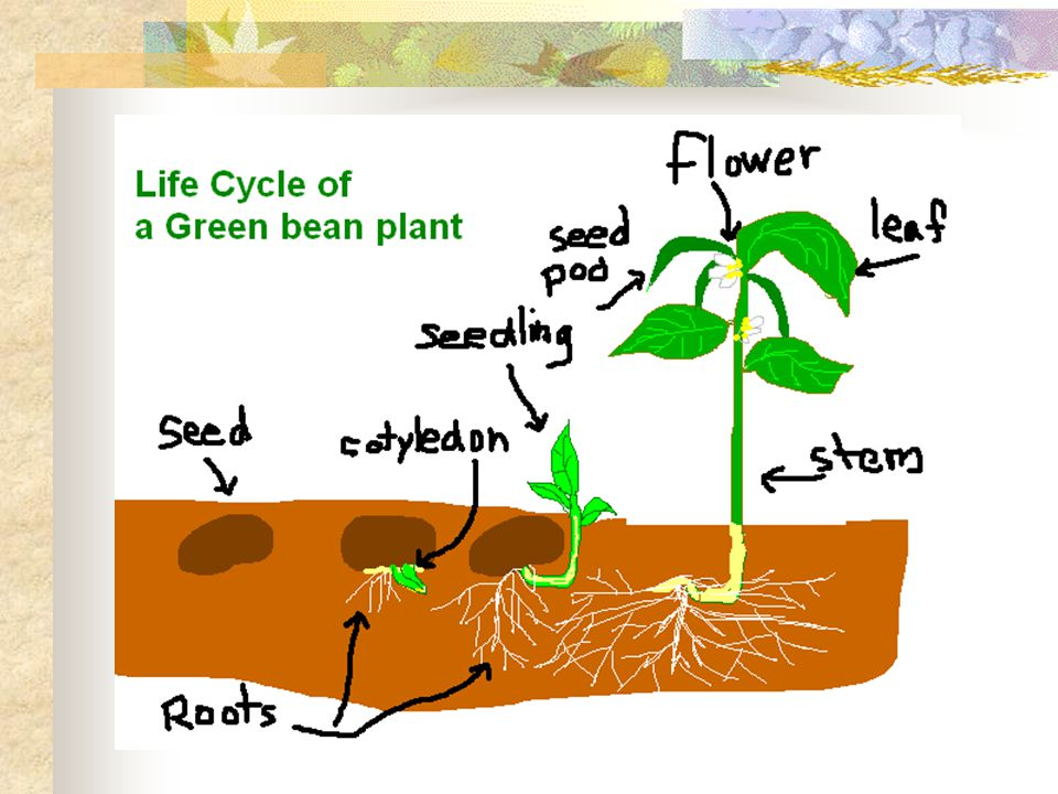 In some plants the time from seed to adult takes only days.
