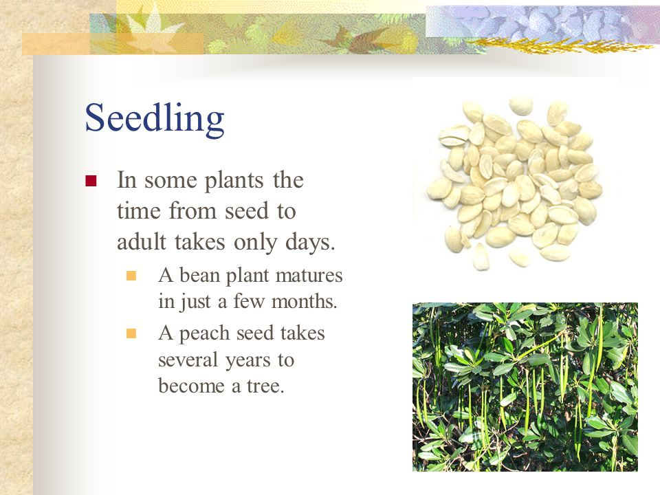 Seeds may also become attached to human's clothing and shoes.