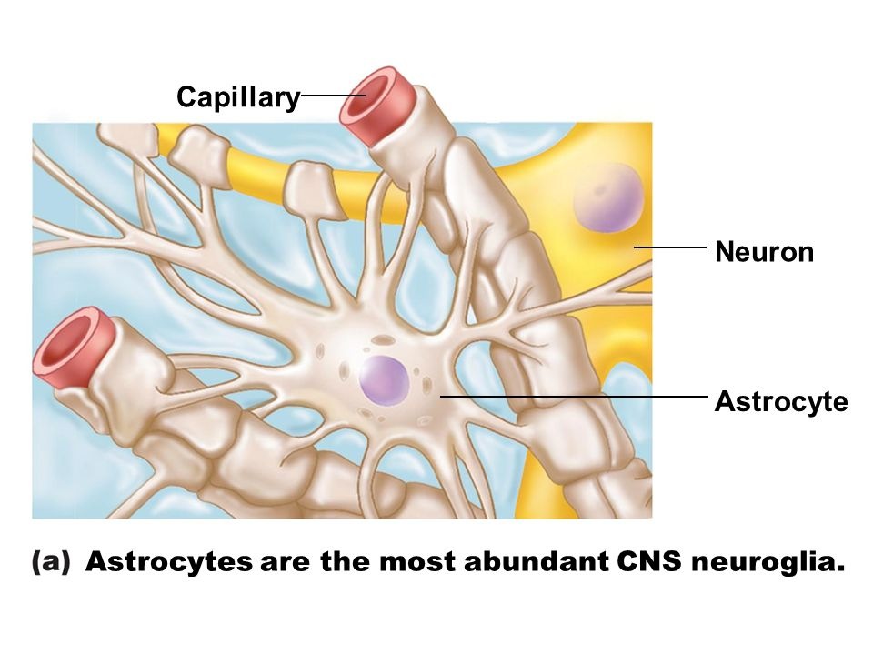 Capillary Neuron Astrocyte Astrocytes are the most abundant CNS neuroglia.