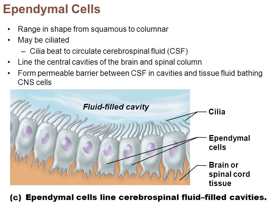 Fluid-filled cavity Cilia Ependymal cells Brain or spinal cord tissue Ependymal cells line cerebrospinal fluid–filled cavities. Ependymal Cells Range