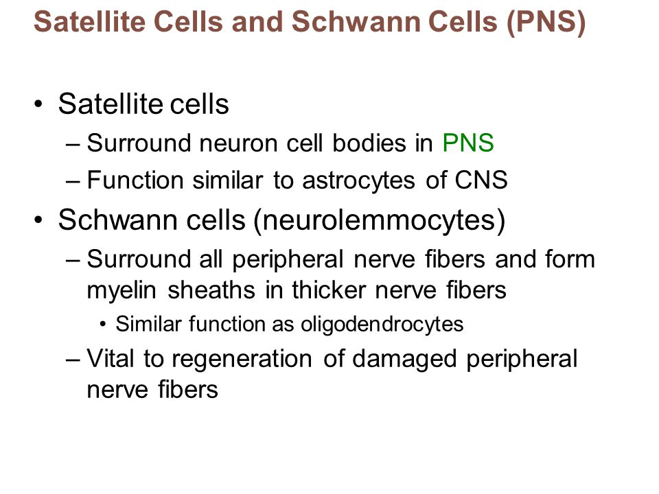 Satellite Cells and Schwann Cells (PNS) Satellite cells –Surround neuron cell bodies in PNS –Function similar to astrocytes of CNS Schwann cells (neur
