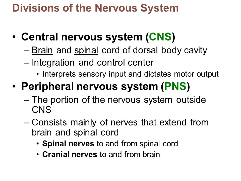 Divisions of the Nervous System Central nervous system (CNS) –Brain and spinal cord of dorsal body cavity –Integration and control center Interprets s