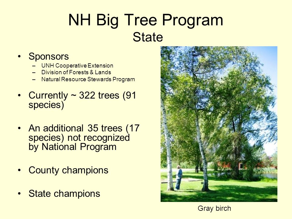NH Big Tree Program State Sponsors –UNH Cooperative Extension –Division of Forests & Lands –Natural Resource Stewards Program Currently ~ 322 trees (91 species) An additional 35 trees (17 species) not recognized by National Program County champions State champions Gray birch