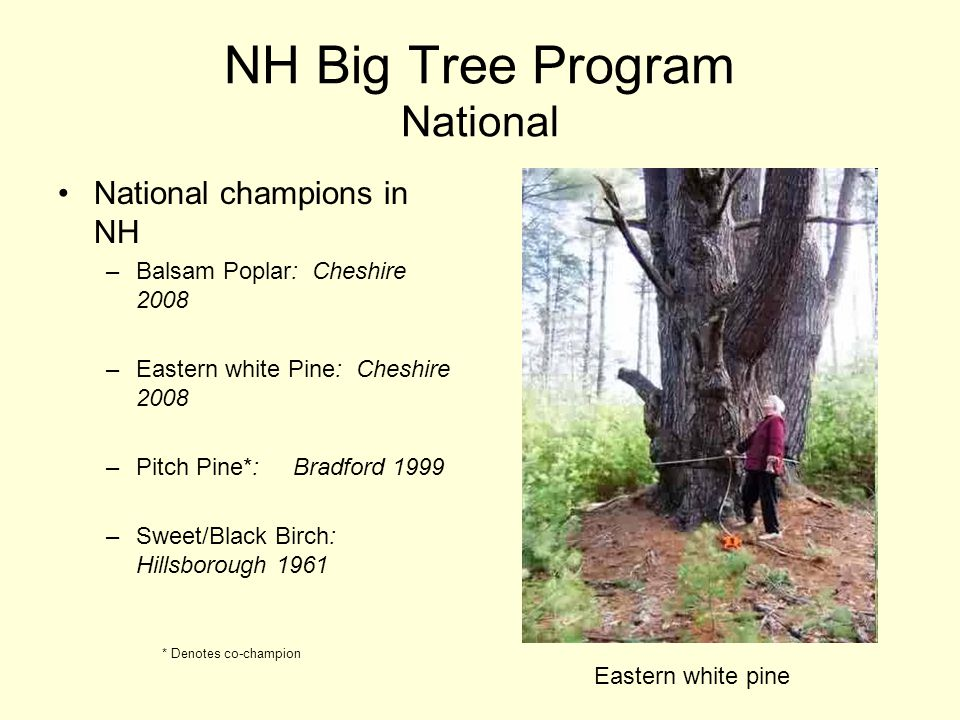 NH Big Tree Program National National champions in NH –Balsam Poplar: Cheshire 2008 –Eastern white Pine: Cheshire 2008 –Pitch Pine*: Bradford 1999 –Sweet/Black Birch: Hillsborough 1961 * Denotes co-champion Eastern white pine