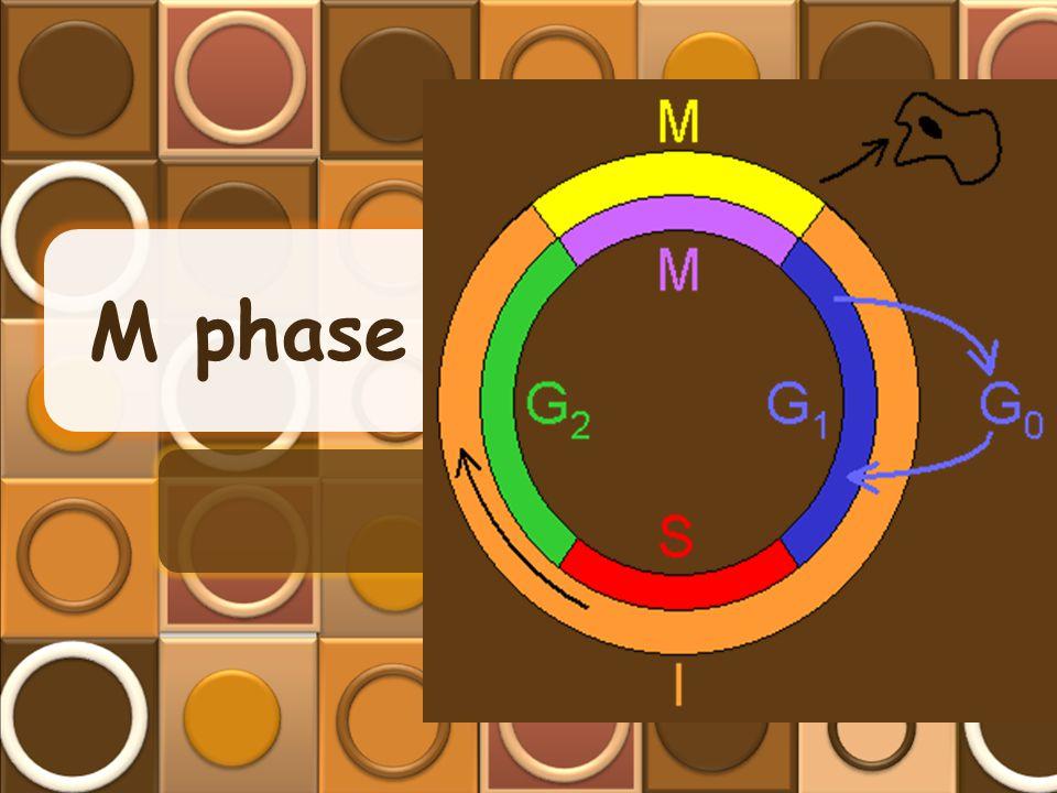 M phase