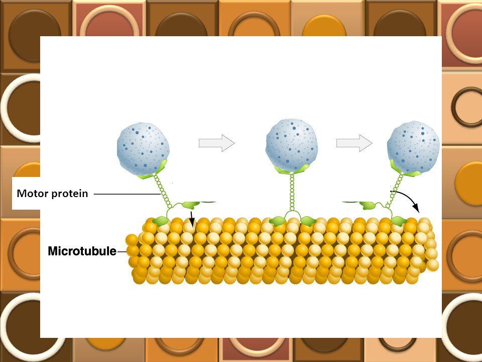 Motor protein