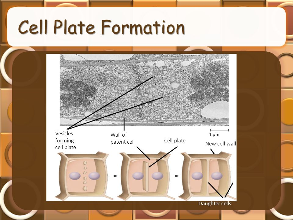 Daughter cells 1 µm Vesicles forming cell plate Wall of patent cell Cell plate New cell wall Cell Plate Formation