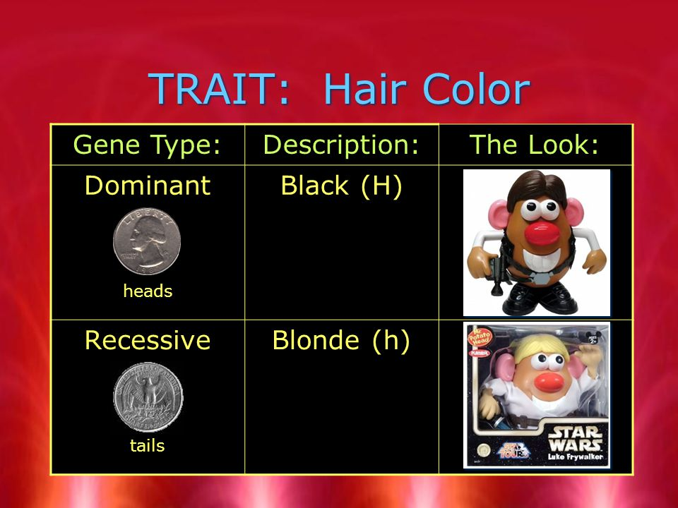 TRAIT: Hair Color Gene Type:Description:The Look: Dominant heads Black (H) Recessive tails Blonde (h)