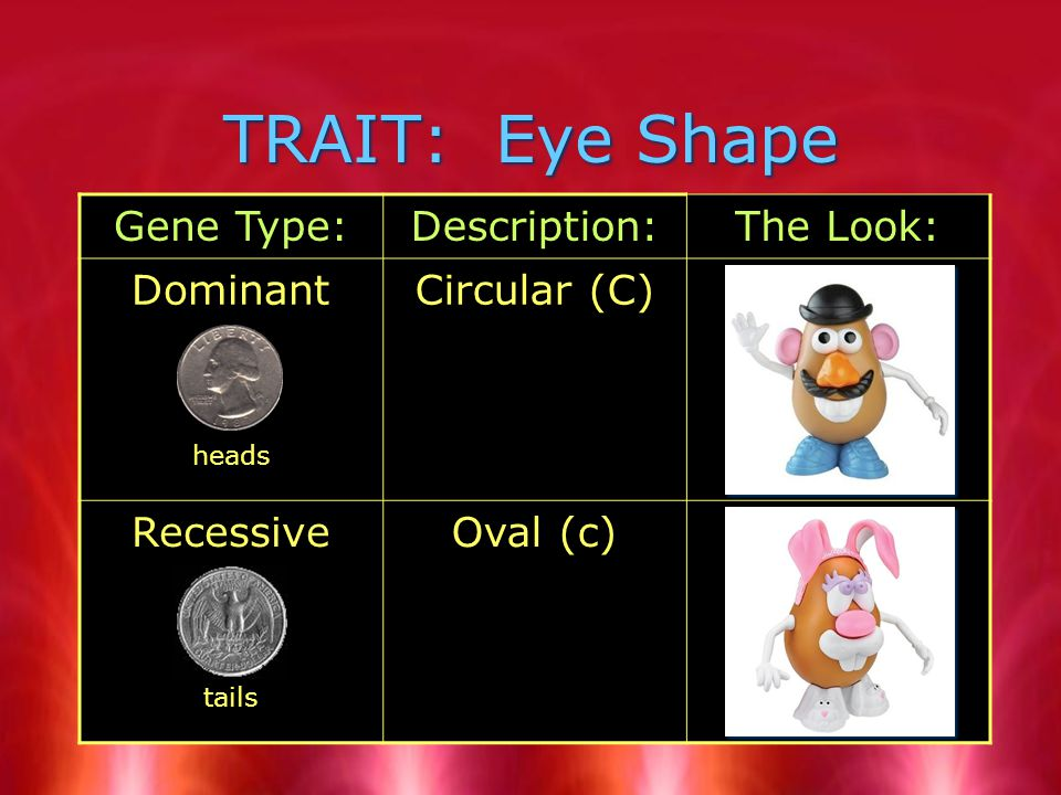 TRAIT: Eye Shape Gene Type:Description:The Look: Dominant heads Circular (C) Recessive tails Oval (c)