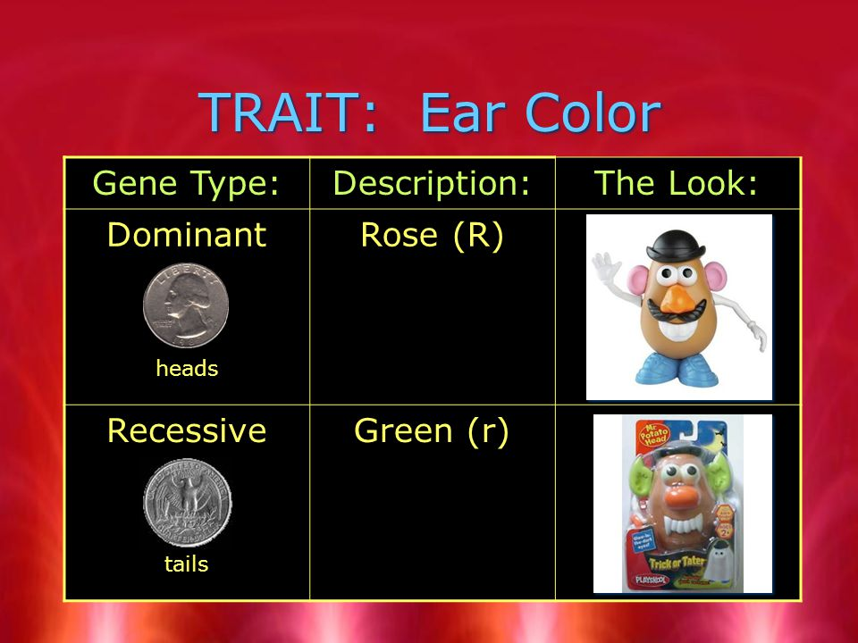 TRAIT: Ear Color Gene Type:Description:The Look: Dominant heads Rose (R) Recessive tails Green (r)