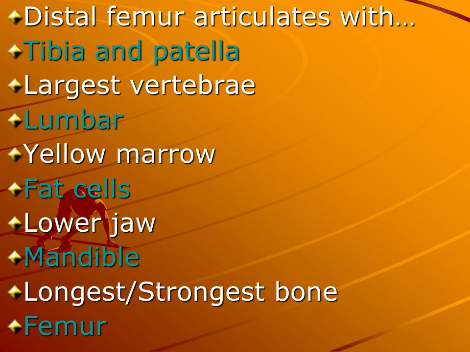 Distal femur articulates with… Tibia and patella Largest vertebrae Lumbar Yellow marrow Fat cells Lower jaw Mandible Longest/Strongest bone Femur