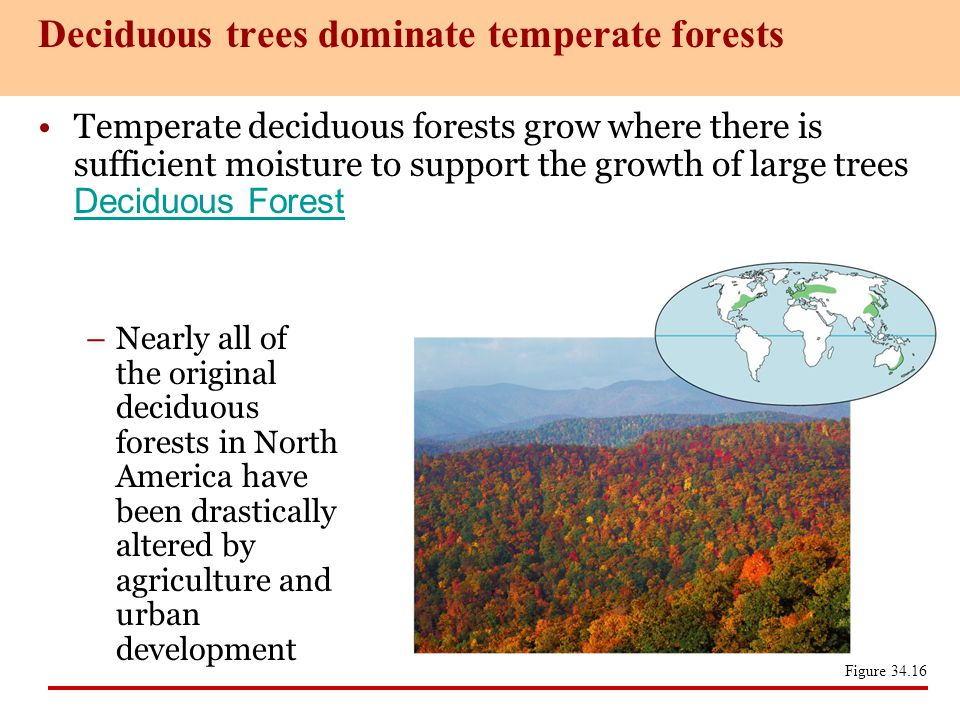 Temperate deciduous forests grow where there is sufficient moisture to support the growth of large trees Deciduous Forest Deciduous Forest –Nearly all