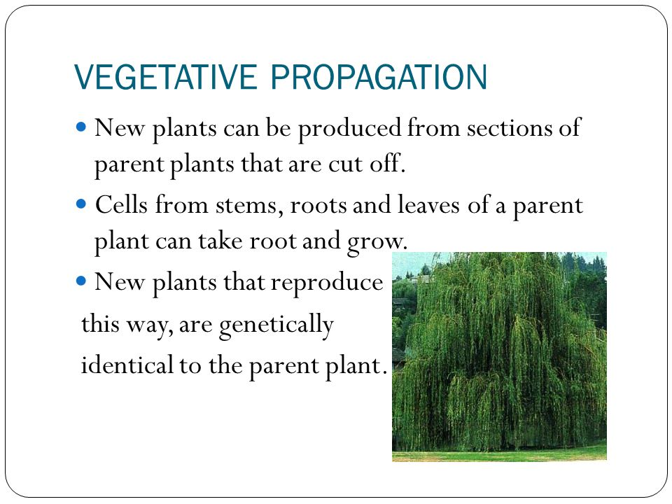 VEGETATIVE PROPAGATION New plants can be produced from sections of parent plants that are cut off. Cells from stems, roots and leaves of a parent plan