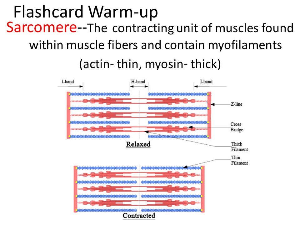 Flashcard Warm-up Sarcomere-- The contracting unit of muscles found within muscle fibers and contain myofilaments (actin- thin, myosin- thick)