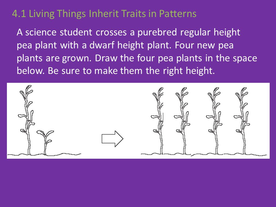 A science student crosses a purebred regular height pea plant with a dwarf height plant. Four new pea plants are grown. Draw the four pea plants in th