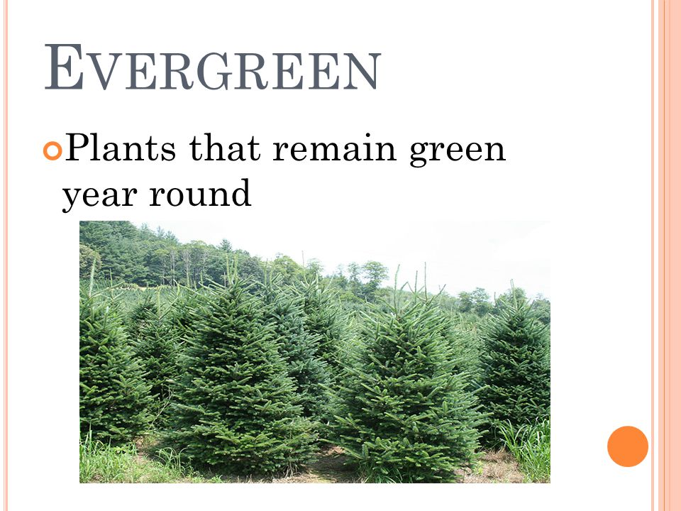 E VERGREEN Plants that remain green year round
