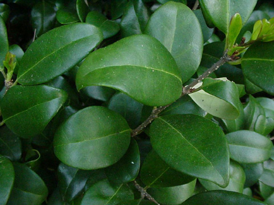 Leaf Arrangement: Opposite Leaf Shape: Ovate Leaf Margin: Entire Vein Pattern: Pinnate Simple Length: 4-6 Width: 2 ½-3