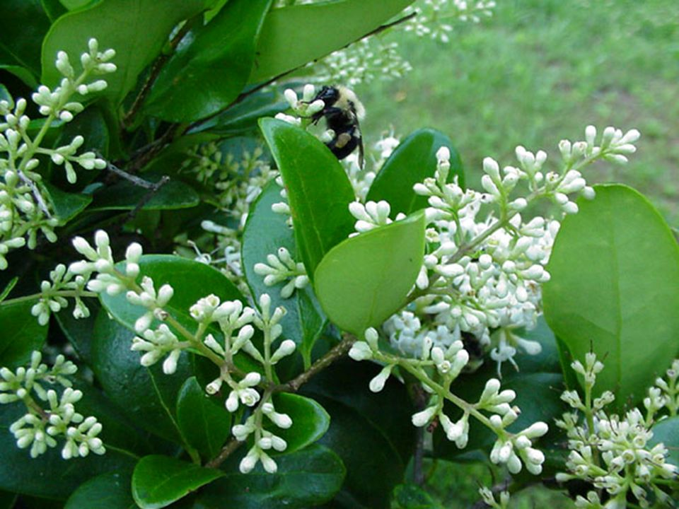 Flower: Spring (May) – White panicle, fragrant Fruit: Fall (black berry) – Seeds are possibly poisonous if ingested.