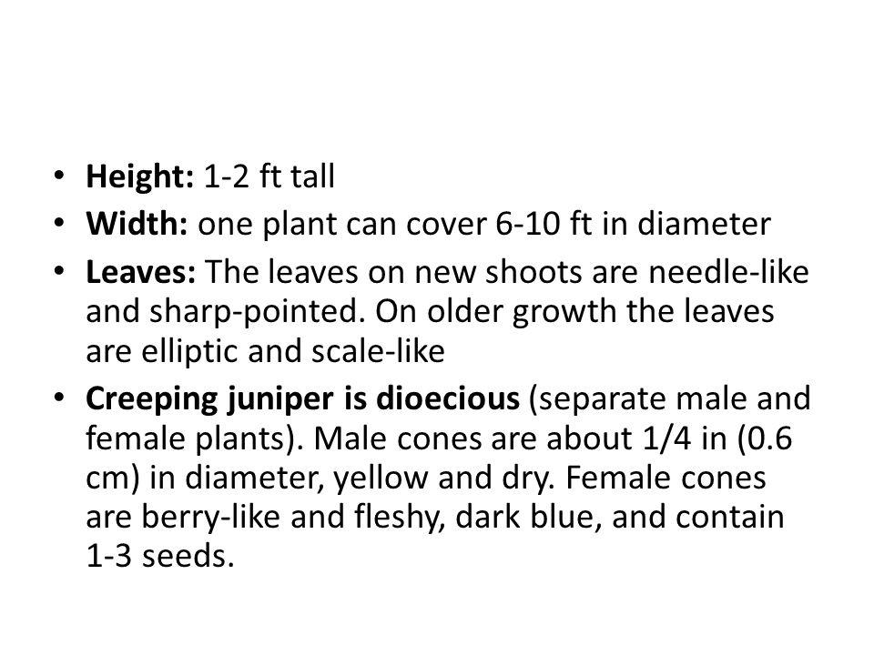 Juniperus horizontalis Common Name: Creeping Juniper Other names: trailing juniper, creeping savin juniper, creeping cedar Evergreen groundcover