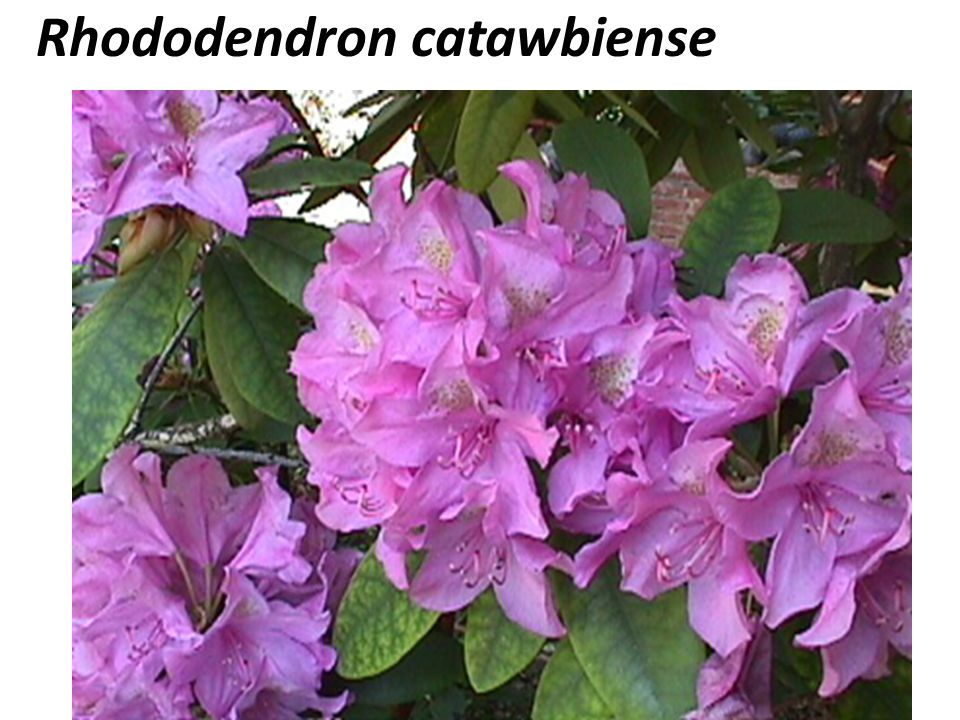 Rhododendron catawbiense COMMON NAME: – Catawba rhododendron FAMILY: EricaceaeEricaceae NATIVE: United States HARDINESS ZONE: 4-8